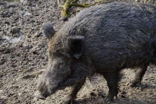 Wild Boar Boar Portrait Disguised Mud Quagmire