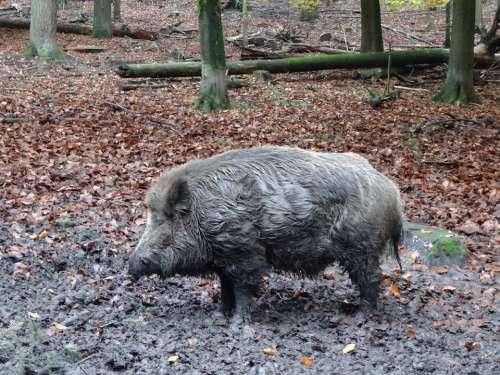 Wild Boar Nature Mammal Wild Wildlife Animals