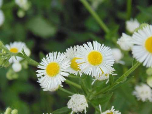 Wild Camomile Green White