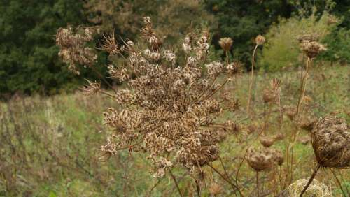 Wild Carrot Faded Meadow Pointed Flower Close Up