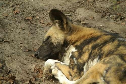 Wild Dog Africa Dog Sleeping Predator Close Up