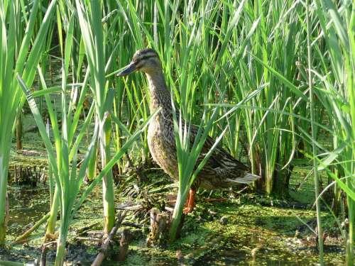 Wild Duck Water Reeds Nature