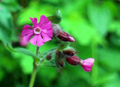 Wild Plant Dianthus Red Campion Campion Flower