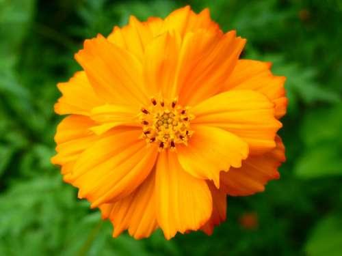 Wildflower Flower Orange Bloom Closeup Blossom