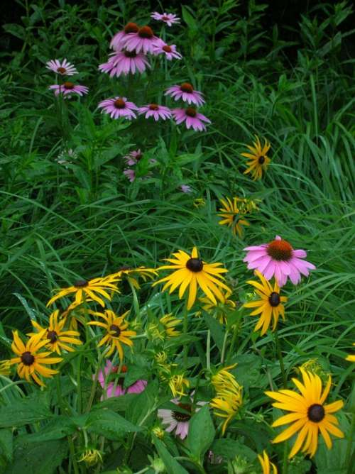 Wildflowers Purple Coneflower Yellow Pink