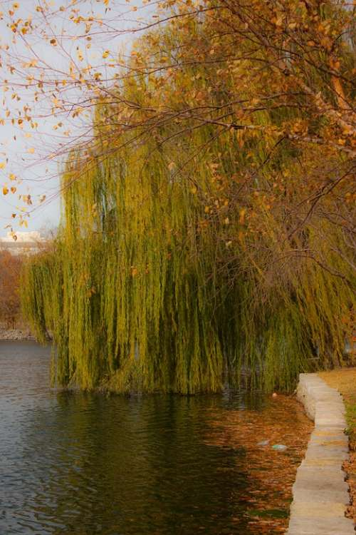 Willow Weeping Willow Tree Water Fall Autumn