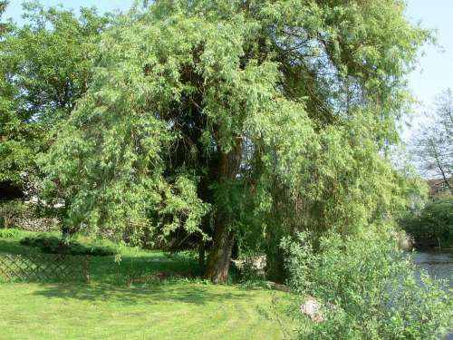 Willow Tree Green Nature