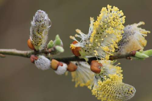 Willow Catkin Grazing Greenhouse Spring Branches