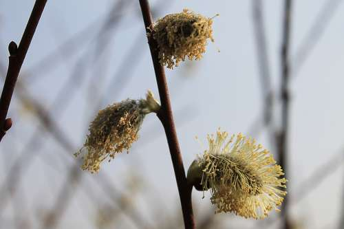 Willow Catkin Grazing Greenhouse Branches Plant