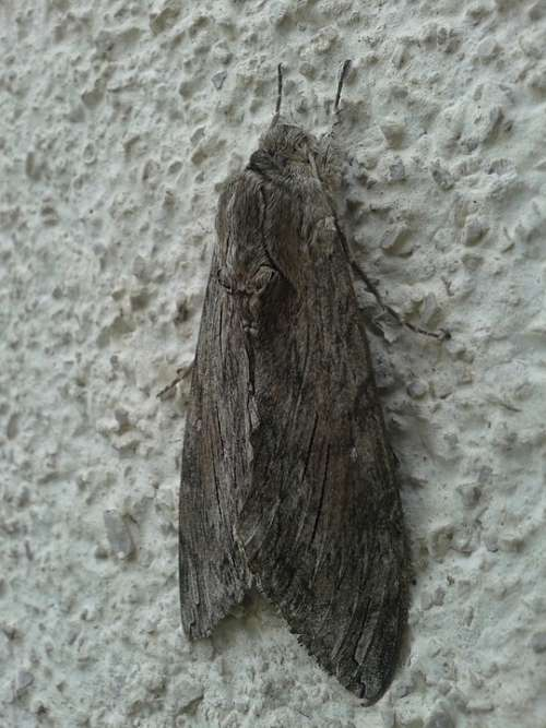 Winch Hawk Moth Butterfly Insect Agrius Convolvuli