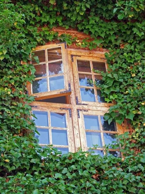 Window Ivy Green Wood