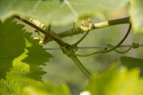 Wine Climber Plant Leaves Nature Plant Uhudler