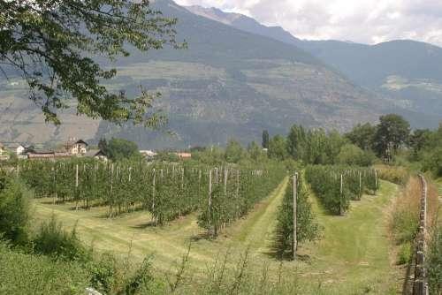 Wine Plantation South Tyrol Italy Dolomites