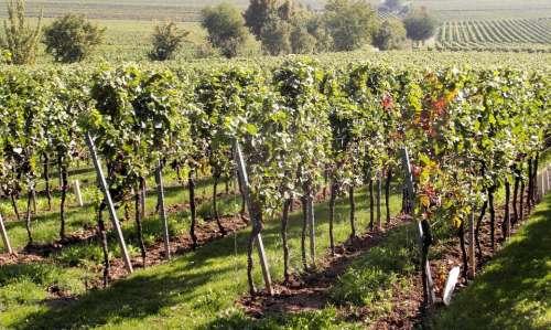 Wine Wine Harvest New Wine Vintage Glass Grapes