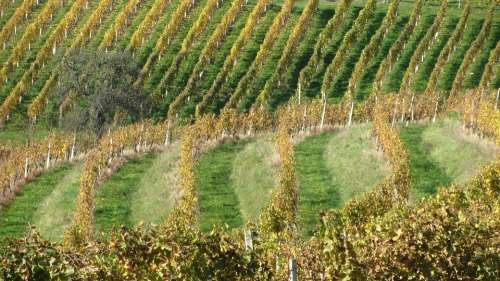 Wine Vineyard Vine Winery Agriculture Nature