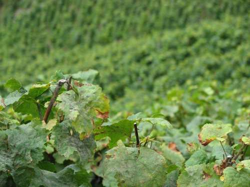 Wine Vine Leaves Winegrowing Vine Green
