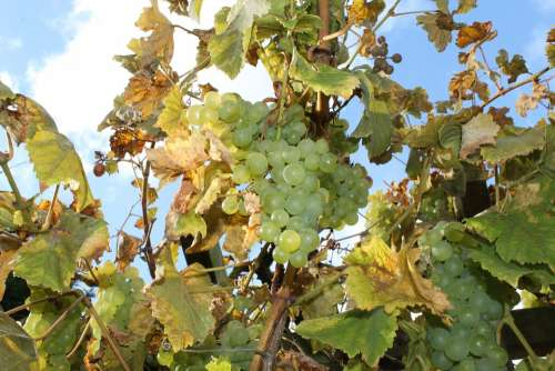 Wine Grapes Autumn Harvest Sunlight