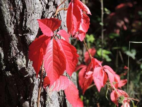 Wine Partner Parthenocissus Quinquefolia Red Autumn