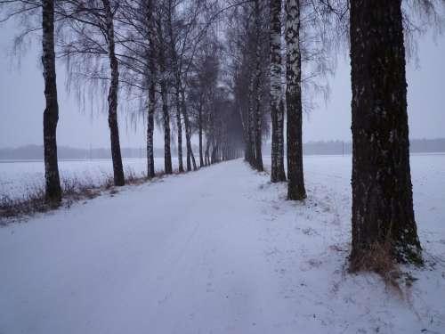 Winter Snow Evening Cold Birch Avenue Avenue