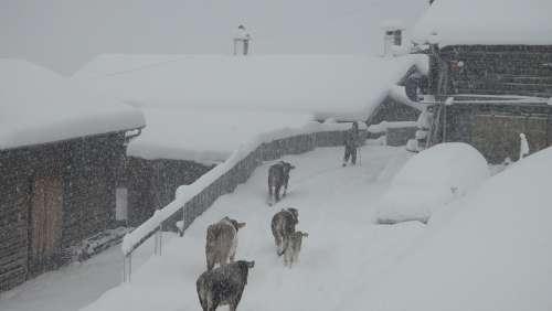 Winter Winter Blast Safien Valley Switzerland Cows