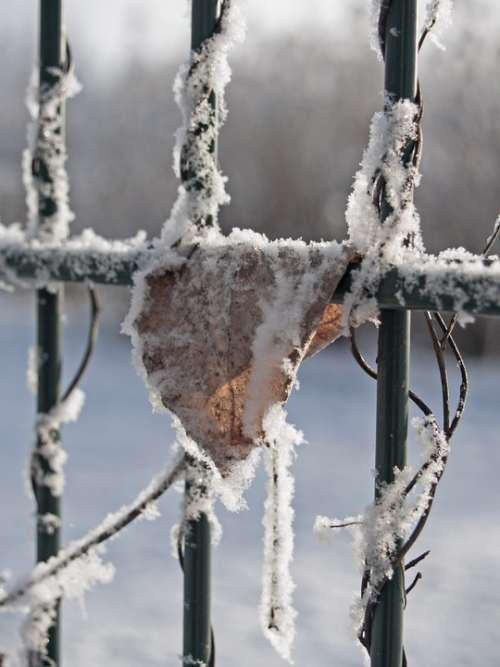 Winter Frost Leaf Fence Plants