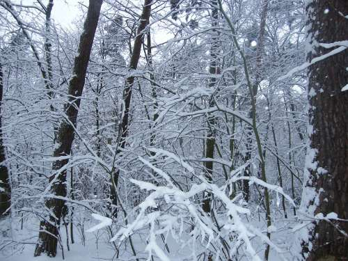 Winter Snowy Snow Forest