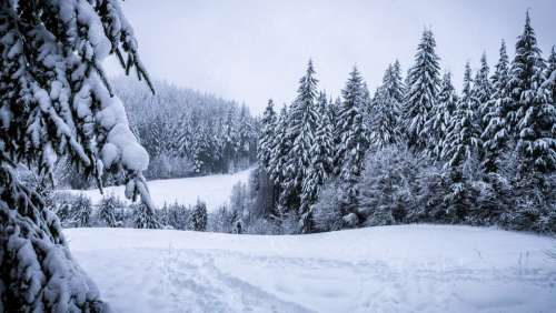Winter Forest Snowy Landscape Pine Conifers
