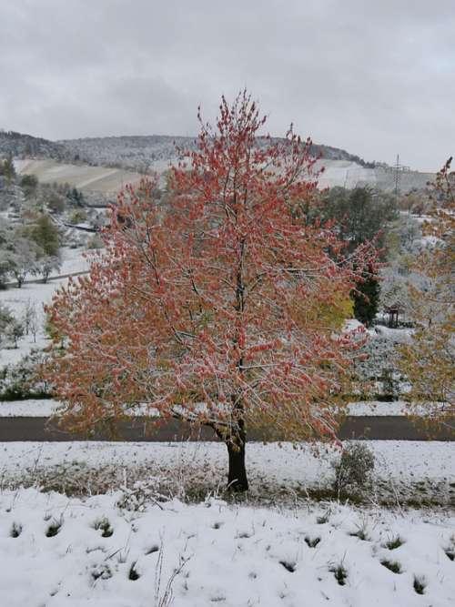 Winter Winter Blast Maple Tree Red Leaves Snow