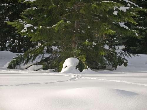 Winter Snow Cold Tree Fir Sunny