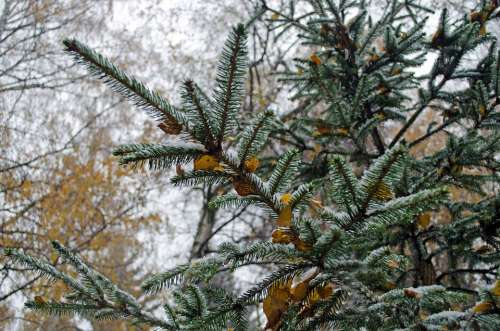 Winter Forest Seasons Wood Branch Evergreen Snow
