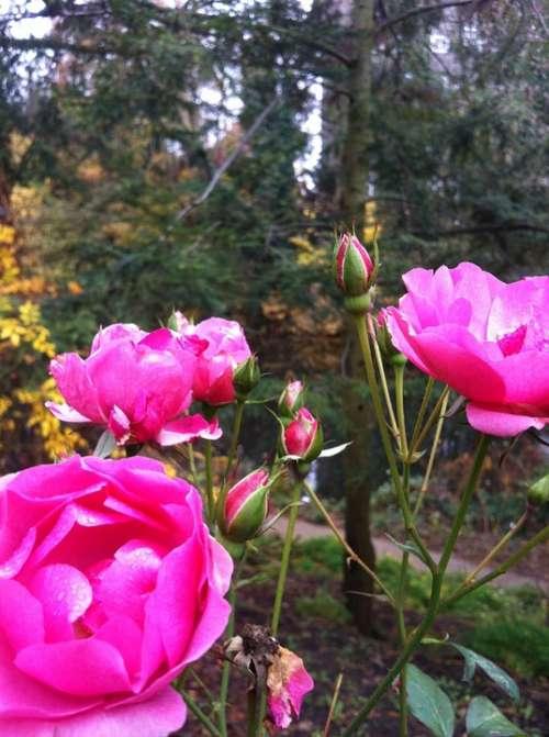 Winter Rose Park Blossom Bloom Nature Flowers