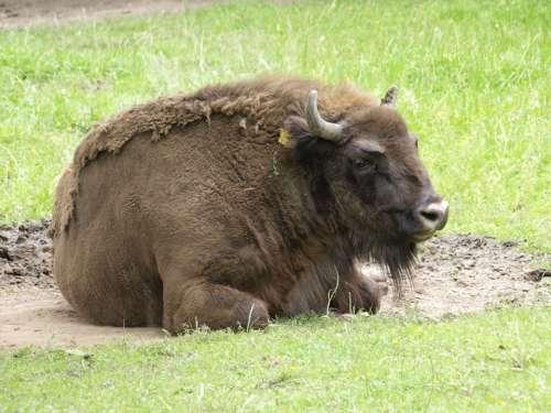 Wisent Buffalo Animal Mammal Pasture
