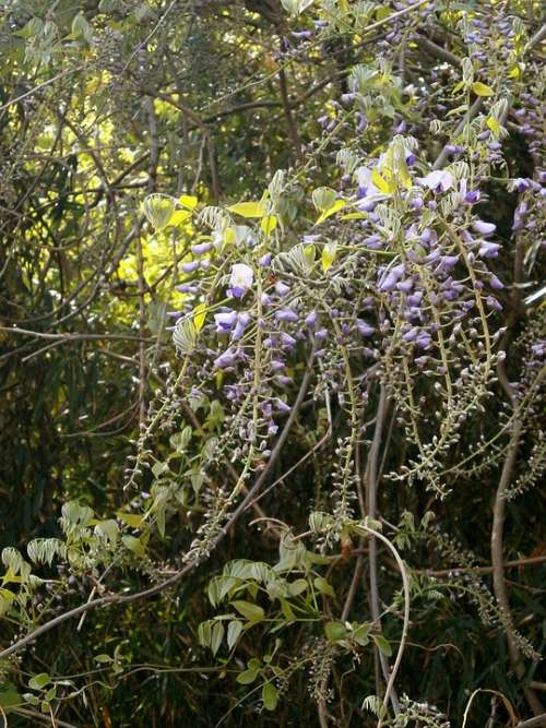 Wisteria Spring Flowers Woods
