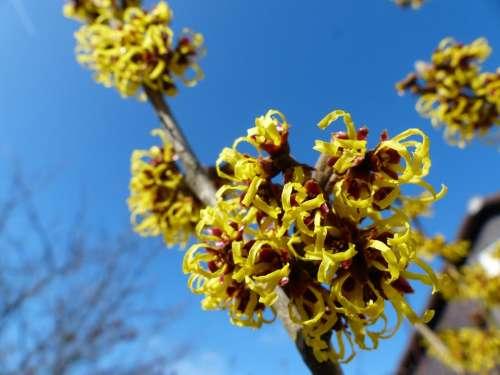 Witch Hazel Hamamelis Mollis Early Bloomer Flower