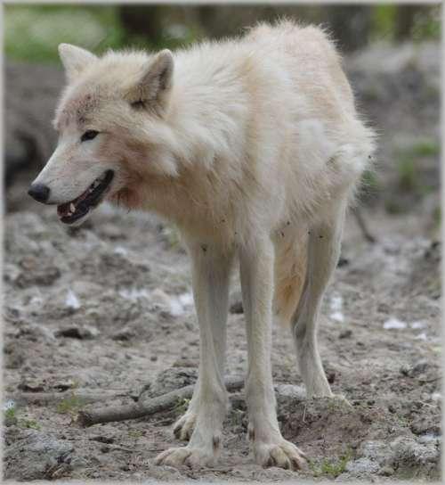 Wolf Predator European Wolf Gray Wool White Wolf