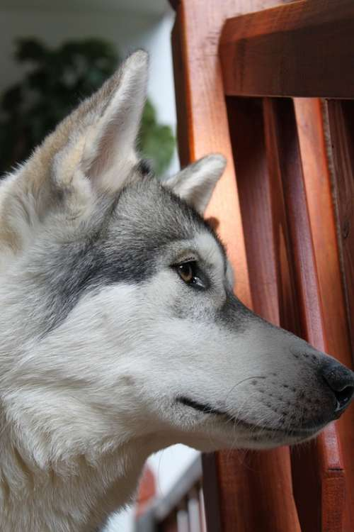 Wolf Husky Animal Pet Siberian Pedigree Friend