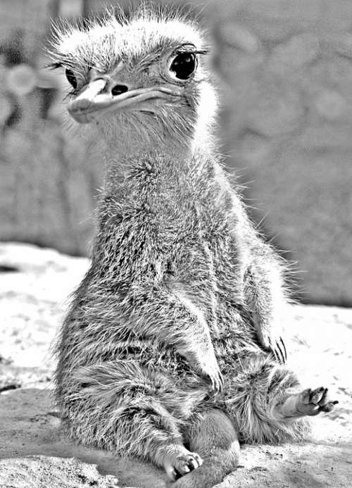 Wolperdinger Animal Photomontage Meerkat Emu Funny