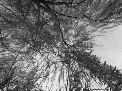 Wood Willow Mood Flowering Tree