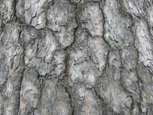 Wood Pine Nature Arboretum Peel Texture Wild