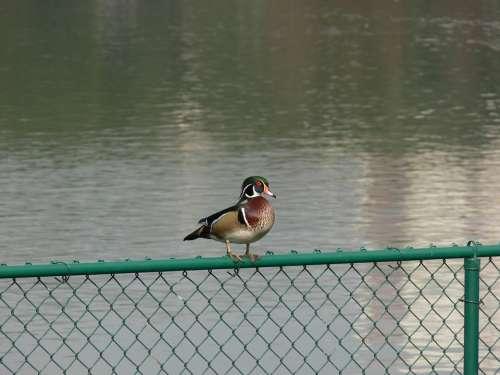 Wood Duck Lake Morton Florida Birdwatching Bird