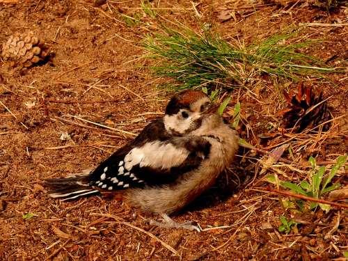 Woodpecker Federal Woodpecker Bird Nature