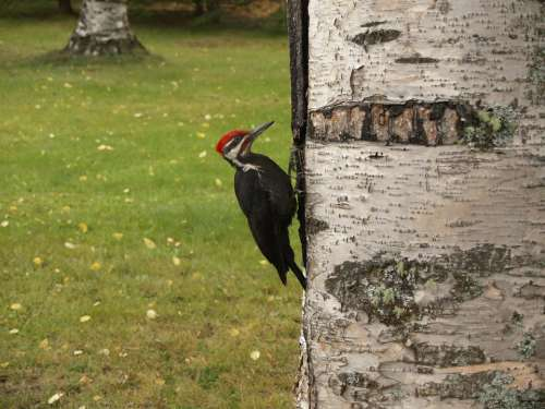 Woodpecker Bird Picking Tree Feathered Forest