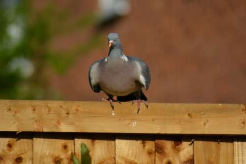 Woodpigeon Pigeon Beak Columba Palumbus Wild Bird