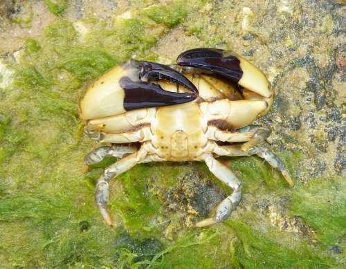 Xantho Poressa Crab Nature Outside Macro Close-Up