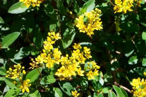 Yellow Flowers Bunch Bush Green Botanical Garden