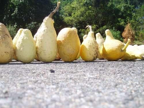 Yellow Ornamental Gourds Fall Halloween Pumpkin