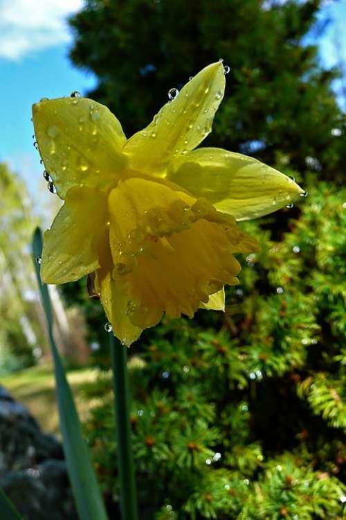 Yellow Daffodil Narcissus Jonquil Blossom