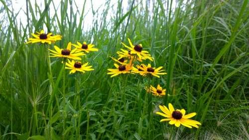Yellow Wild Flowers Flower Bunch Grass Nature