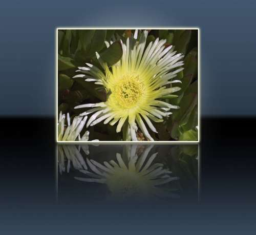Yellow Flower Nature Plant Frame Reflection