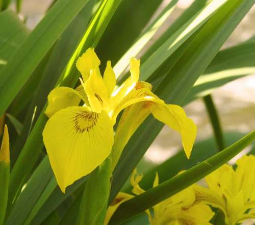 Yellow Iris Flower Nature Bright Color